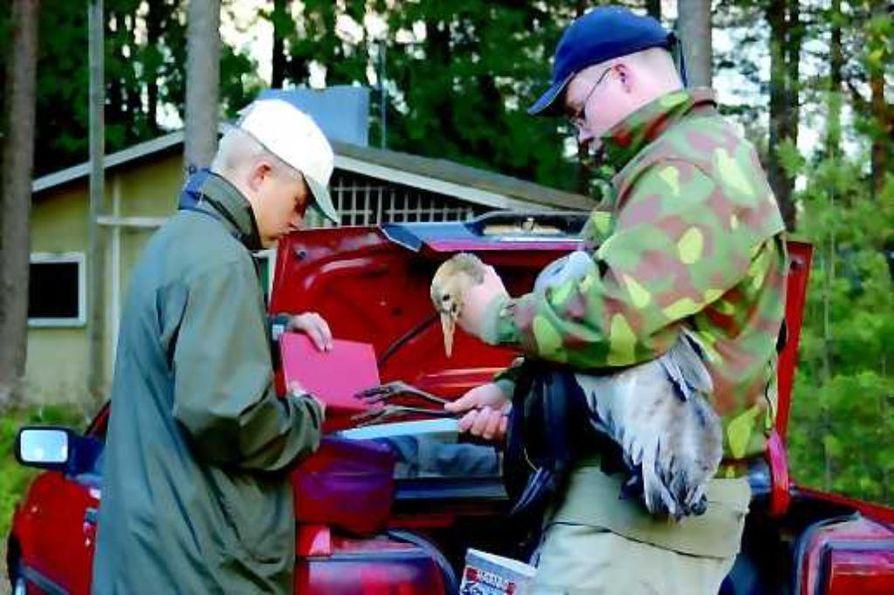 Matkalla hoitoon. Kurjenpoikaa rengastamassa Esa Aalto (vas.) ja Tuomo Jaakkonen.