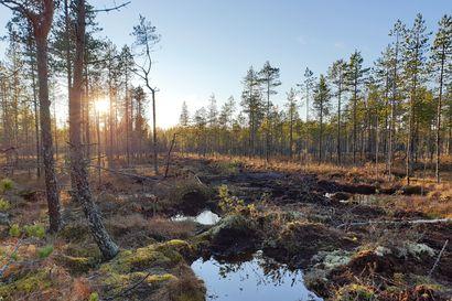 Luontopaneeli: Soiden ennallistaminen on tärkeä työkalu luonnon monimuotoisuuden turvaamisessa
