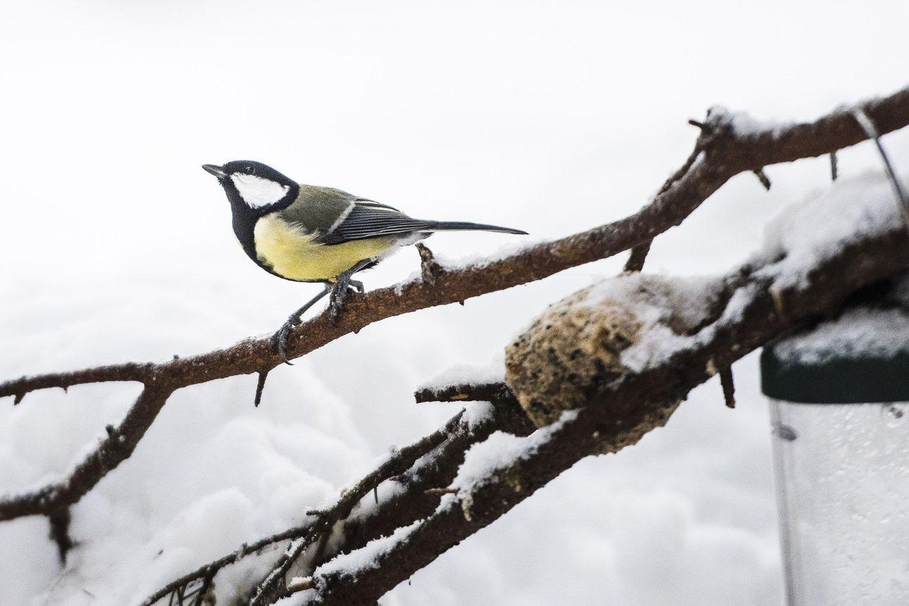 Lintujen pihabongaus alkoi tänään – näillä helpoilla ohjeilla lähdet mukaan tirppojen tarkkailuun!