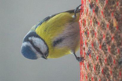 Alustava pönttöbangaustulos kertoo: linnunpöntöissä runsaasti asukkaita