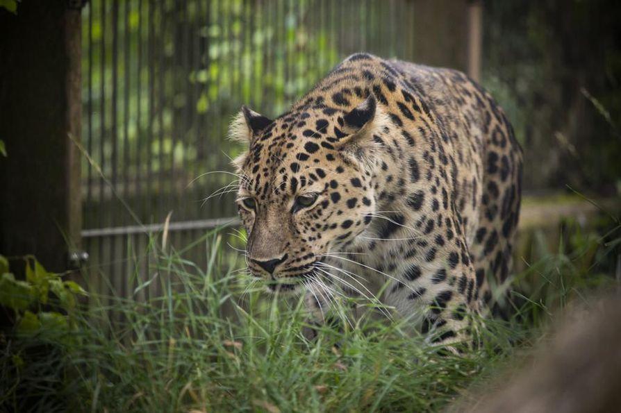 Amurinleopardin kanta on ollut pienimmillään vain muutamia kymmeniä yksilöitä. Nyt Euroopan eläintarhoissa suunnitellaan luontoonpalautuksia.