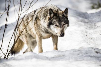Useita poroja Etelä-Lapissa raadellut susi halutaan kumoon –kaatolupa voimassa Ranuan, Simon, Tervolan ja Rovaniemen alueella