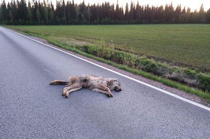 """Susi jäi auton alle lähellä asutusta Kempeleessä – """"Ei siinä ehtinyt väistää"""""""