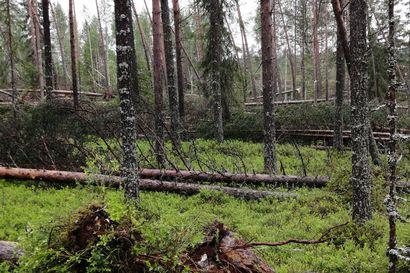 Katso drone-video metsätuhoista: Meteorologi kertoo tiistaisen Paula-myrskyn kulusta – ensi yönä Kuusamoon saattaa vielä yltää Kainuun ylle tulevan ukkosen rippeitä