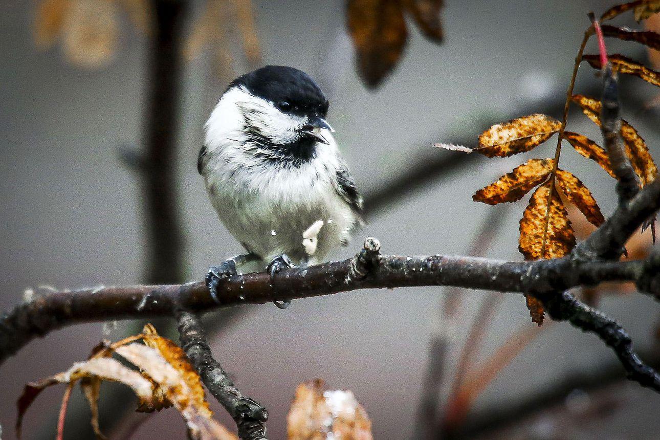 Lapin linnunlaulun loppu –Kuudes sukupuuttoaalto vie matkassaan arktiset linnut ja perinteiset pihalinnut Lapista