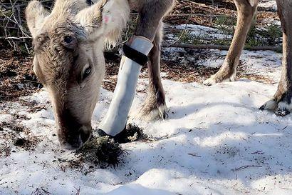 """Jalkansa katkonut Sissi-poro sai maailman ensimmäisen koparaproteesin – omistaja: """"Halusin tehdä kaikkeni, jotta voisin helpottaa Sissin elämää"""""""