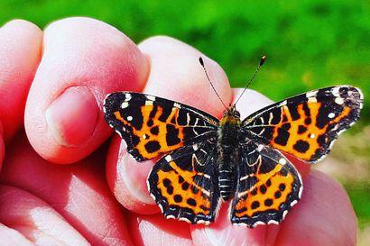 Kesän perhosten loisto tallentuu lukijoiden kuviin – lähetä kuvia perhosista