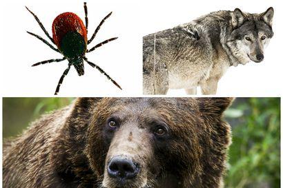 Tutkimus: Punkki ja karhu ovat sutta pelottavampia – petoja pelätään entistä enemmän Suomessa