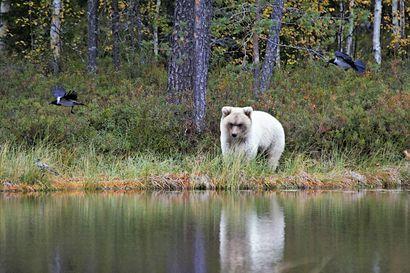 Haapajärvinen luontokuvaaja kohtasi ihmeellisen valkean karhun Kuhmossa – Tutkimusprofessori: Vastaavanlaisia nähty Japanin saarilla