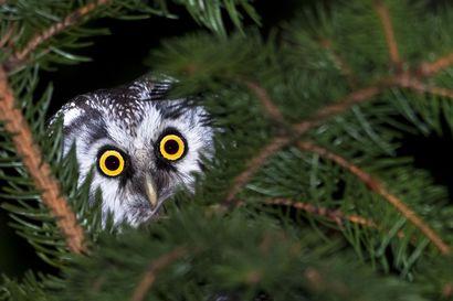Elmeri Juuti oli rengastamassa pöllöjä kamera mukanaan, kun hänhuomasi pöllön suoraan yläpuolellaan - rävähtämättä tuijottavat silmät toivat voiton yleisöäänestyksessä ja raadin päätöksissä
