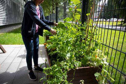 Kädet multaan – kesällä viljellään ympäri kaupunkia