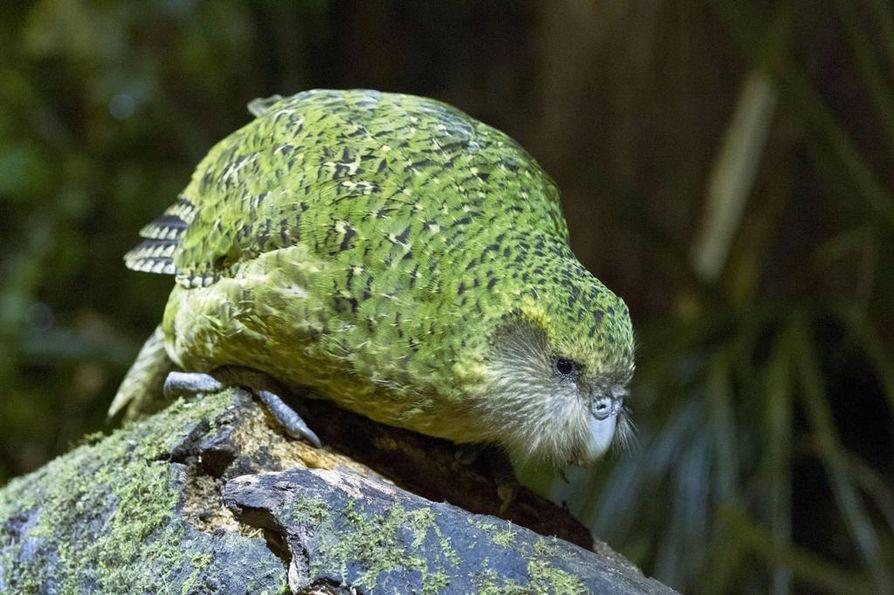 Kakapon suojeluun herättiin Uudessa-Seelannissa tosissaan 1990-luvulla, kun lintuja oli jäljellä enää 50. Se on erittäin uhanalainen.