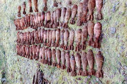 """""""Alkoi tuntua siltä, että kyseessä on jotain pärekattonauloja suurempaa"""" Näin kuvaa 115 sota-aikaista kranaattia Oulaisista pellosta löytänyt Veli Pekka Saari"""