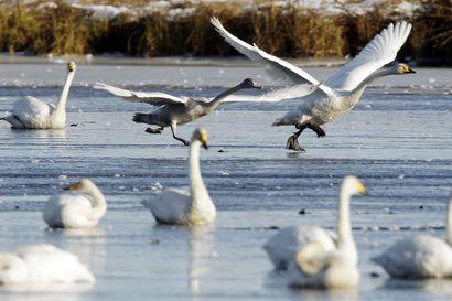 """Vesi- ja riistalintukannat jyrkässä laskussa, linnusto vaarassa yksipuolistua rajusti: """"Koska riistalinnut ovat meillä luonnonvara, niin jotain pitää todellakin tehdä"""""""