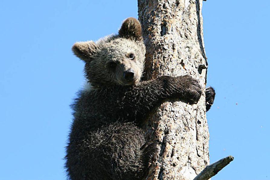 Pieksämäen keskustassa liikkunut karhu työllisti poliisia yli kahden tunnin ajan myöhään eilisiltana Etelä-Savossa. Kuvan Milla-karhun taival päättyi viime viikolla Ranuan eläinpuistossa.