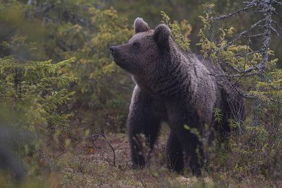 Haavoittuneen karhun etsinnät Kuusamossa lopetettu tuloksettomina – Alueella liikkuvia ihmisiä pyydetään noudattamaan varovaisuutta