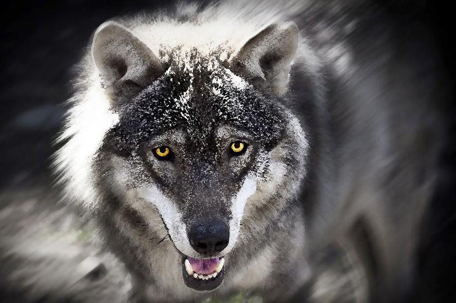 Metsästyskoiran kimppuun käynyt ja metsästäjääkin kohtaan uhkaavasti käyttäytynyt susi on lopetettu Kuusamossa, kertoo poliisi. Arkistokuvan susi ei liity tapaukseen.