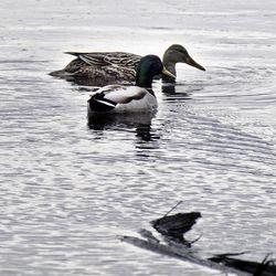 """Lapin tulvat aiheuttavat harmia lintujen pesänrakentamiseen – """"Vesistöjen lähellä olevat pesät ovat tuhoutuneet"""""""