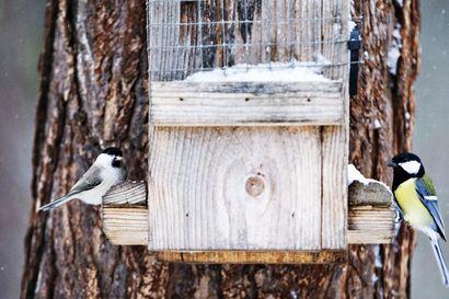Bongaa päivä pihalla tänä sunnuntaina – Montako lintulajia havaitset 100 metrin säteellä kodista? Ilmoita havaintosi BirdLifelle