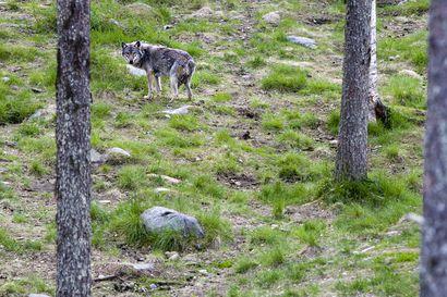 Miten suojata metsästyskoira susilta – 10 minuuttia on pitkä aika hyökkäystilanteessa
