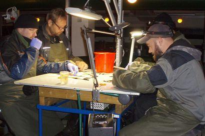 Istutuskaloilta leikataan rasvaevä – Iijoen kalatalousalue esittää lohisaaliin seurantaa