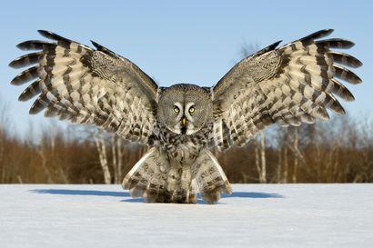 Teerensoitimet ja lapinpöllöt kiinnostavat luontokuvaajia – Tiedätkö sinä Pudasjärveltä hyviä kuvauspaikkoja?