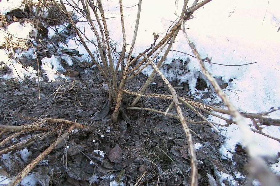 Koko Pohjois-Suomessa myyräkantojen on odotettu vahvistuvan. Myyrät ovat voineet jyrsiä tuhoisasti lumen alla puutarhoissa.