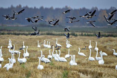 Limingan pelloilla on nyt tuhansittain hanhia, joutsenia ja muita siivekkäitä –ohrapellon päivämatinea on lintujen muuttoa seuraavien juhlaa