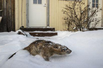 Yöllinen elämä näkyy omakotitalon pihan jäljissä Oulun Peltolassa, mutta loukkuun rotat eivät enää jää – Asiantuntija: Rotat oppivat toisiltaan ja järjestäytyvät jopa työvuoroihin