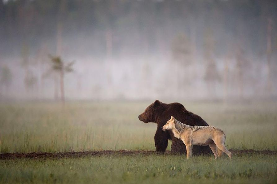 Valokuva karhusta ja sudesta on yksi Rautiaisen eniten levinneistä otoksista. Tämän Friends-kuvan ovat nähneet miljoonat ihmiset.
