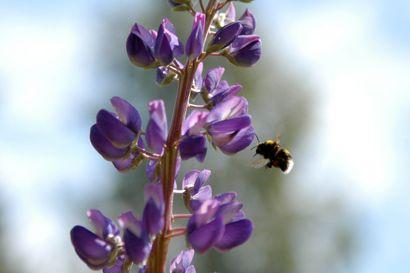 Lukijalta: Pörriäiset, pölytys, luonnonsuojelu ja mehiläiset