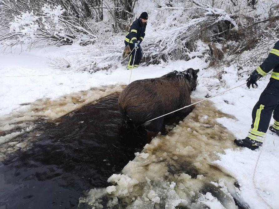 Palomiehet saivat kylmästä kangistuneen hirven Siikajoesta köyden avulla.