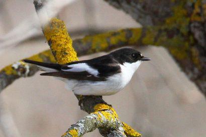 Lämpö sai lintuihin vauhtia: Sinipyrstön kevätmuutto on aikaistunut huomattavasti, tunturikiuru teki harvinaisen vierailun Taivalkoskella