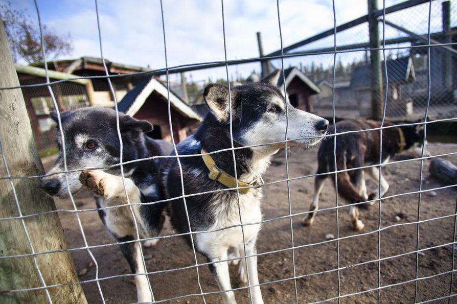 Lapin aluehallintoviraston läänineläinlääkärin mukaan koirien liikkumisrajoituksia voi olla aiheellista miettiä matkailusesongin alkaessa, sillä Lappiin tulee rekikoiria myös Norjasta.