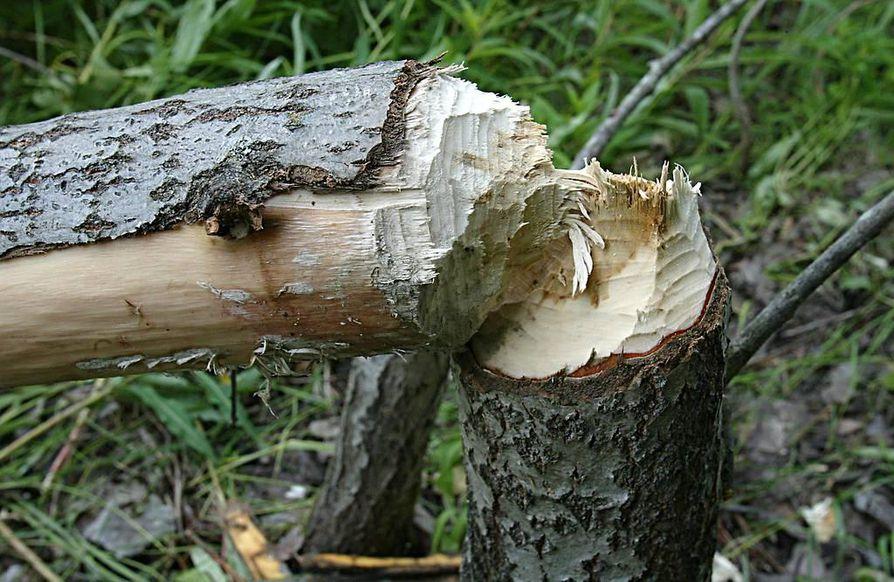 Majava on pystyvä eläin. Puiden kaatamisen ohessa sen on uutisoitu aiheuttaneen haittaa ihmisille.