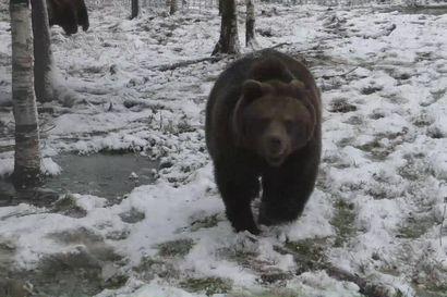 Kuusamon Suurpetokeskuksen karhut valmistautuvat talviunille – maalarina tunnetun Juuso-karhun luovuus ei ole ollut iskussa tänä vuonna