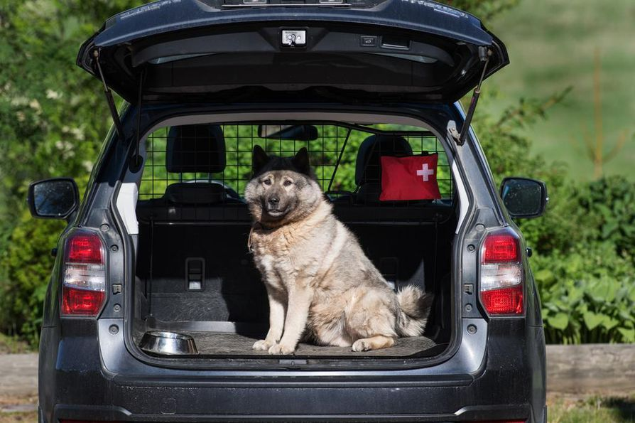 Hirvikoira Oskar valmiina metsästysreissulle. Oskarin isännän auto on varustettu koiraverkolla, kumimatolla, takapuskurin suojalistalla, vesikupilla ja juomapullolla sekä ensiapulaukulla.