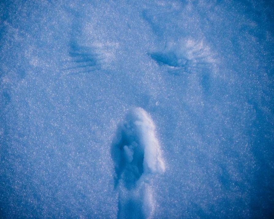 Hankien tarinoita. Teeri on jättänyt lumikiepin viereen siivenjäljet.