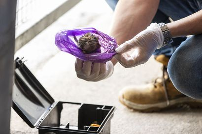 """Rotat ovat vallanneet oululaisen taloyhtiön roskakatoksen – """"Pari kertaa ne ovat kiivenneet ensimmäisen kerroksen asuntojen parvekkeille"""", kertoo asukas"""