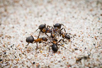 Posti toi 30000 muurahaista – Valtakunnallinen kansalaistiedeprojekti toi uutta tietoa kekoja rakentavista muurahaisista