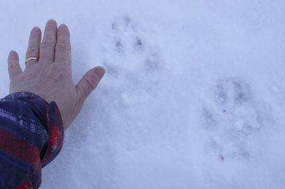 Susi juoksi nuoren miehen auton rinnalla – noin kuukausi sitten kolme sutta näyttäytyi nuorukaiselle eläinsuojan lähellä