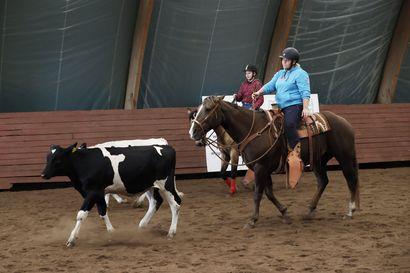 Karjapaimenen työn juurilla – Karjapaimennuksessa hevosesta koulutetaan työntekijä