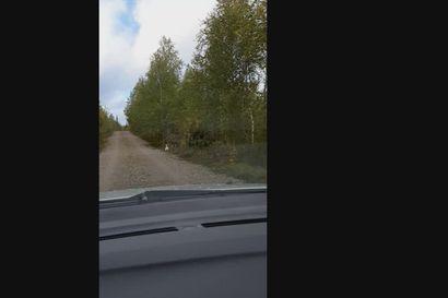 Lähes valkoinen kanalintu tallentui lukijan videolle Kuusamossa – asiantuntija arvioi, että kyse on leukistisesta metsosta