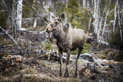 Metsästäjäliitto ja MTK: Hirvipeijaisten järjestämistä tulee välttää koronariskin vuoksi
