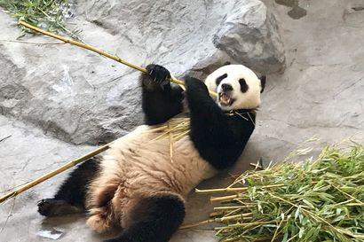Ähtärin pandat tukalassa tilanteessa, jopa Kiinaan palauttaminen vaihtoehtona – Ranualla pandojen ottamisesta ei ole keskusteltu