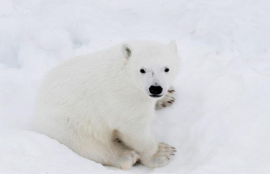 Jääkarhunpentu Ranuan eläinpuistossa.