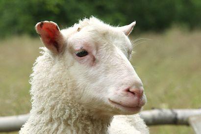 Metsähallitus etsii jälleen innokkaita lammaspaimenia Lappiin viettämään kesää – maksulla rahoitetaan kohteiden ylläpitoa ja luonnonhoitoa
