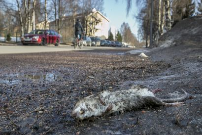 """Etelä-Suomessa lisääntyvät rottaongelmat eivät yllä Lappiin – """"Meillä on täällä vielä kunnon talvet"""""""