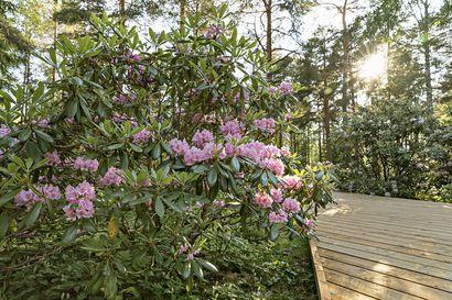 Tuiranpuisto kätkee sisäänsä ainutlaatuisen ja alkukesästä näyttävästi kukkivan alppiruusupuiston