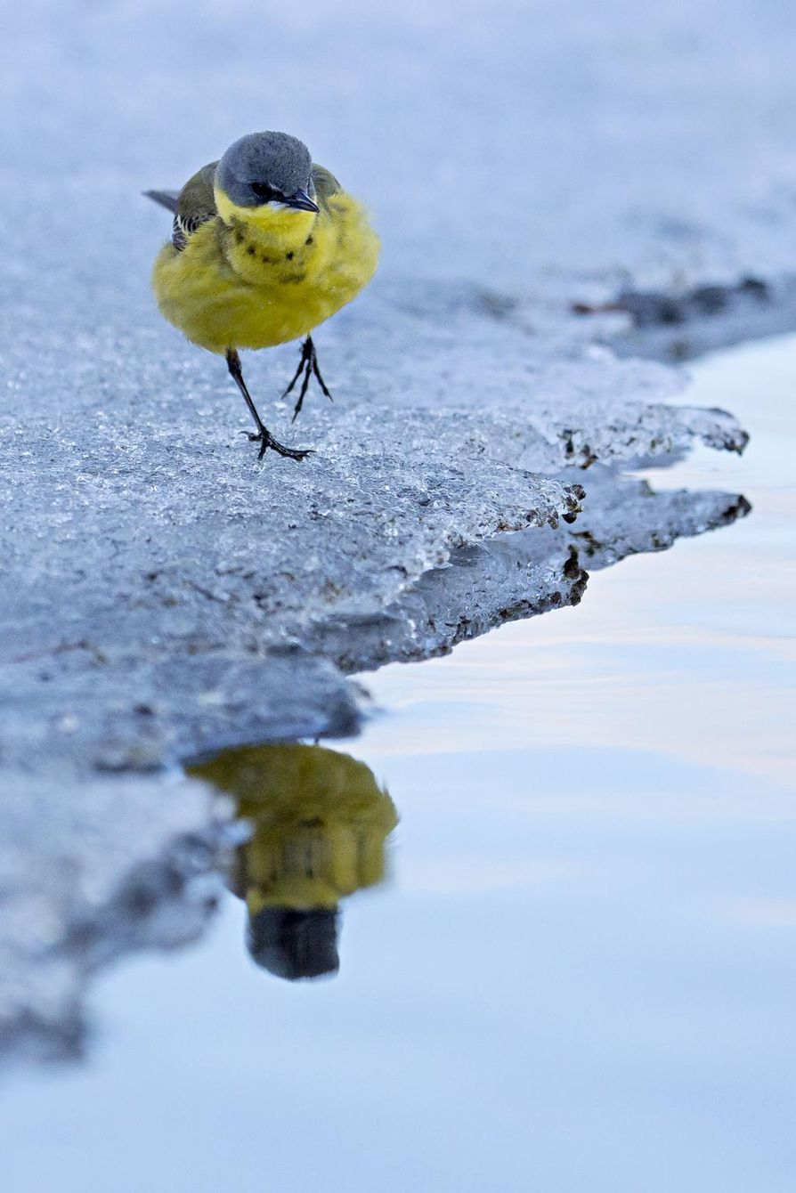 Kevään ensimmäiset keltavästäräkit saapuvat Posiolle vielä lumisiin maisemiin.